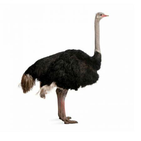 Комбикорм для страусов