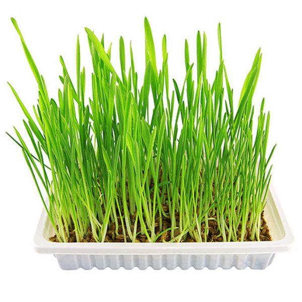 Травка для проращивания