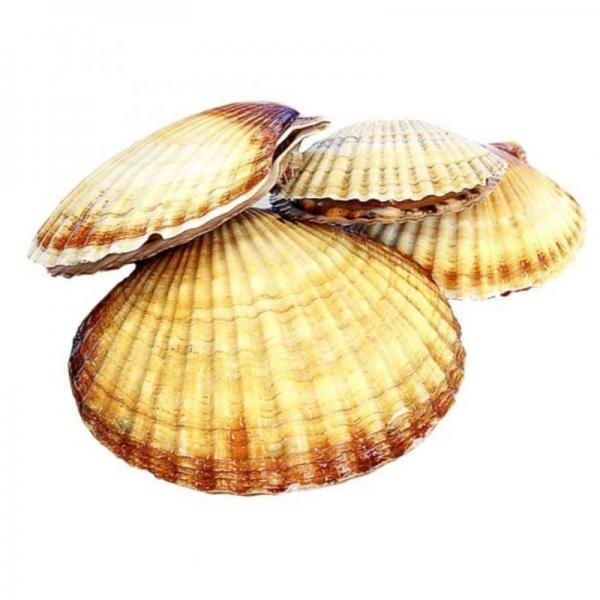 Морской гребешок - ЭкоФерма 24